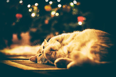 Cats for Christmas ) (Natalia Medd) Tags: xmas christmas tree color colorful bokeh blur orange cat shadow light joy happiness cute animal pets pet relax cozy december holiday
