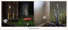 USA_0814 (Weinstöckle) Tags: eispilz fliegenpilz pilz wald herbst geweihförmigeholzkeule