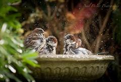 Bathing Sparra's (Neil Parker Photography) Tags: bathtime housesparrow sparrow garden birdbath water spray waterdroplets passeridae passerdomesticus wildlife ukwildlife smallbird ukgarden
