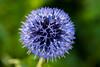 My God, It's Full of Stars! - _TNY_9685 (Calle Söderberg) Tags: macro canon canon5dmkii canonef100mmf28usmmacro canoneos5dmarkii raynox dcr250 flash meike mk300 glassdiffusor flower blue blueglobethistle globethistle tistel bolltistel stars echinops bannaticus asteraceae globe ball round platinumheartaward