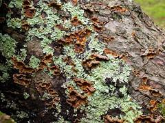 Flavoparmelia caperata and bracket fungus, (aburgh) Tags: newforest hampshire flavoparmelia trametes lichen macrolichen bracketfungus corticolous foliose