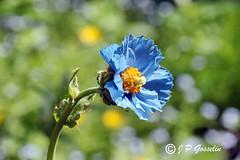 REFORD GARDENS   |      EMBLEM  |   |     BLUE POPPY   |  PAVOT BLEU          |     REFORD GARDENS  |      LES JARDINS DE METIS  |  METIS   |  GASPESIE  |  QUEBEC  |  CANADA (J.P. Gosselin) Tags: blue canada gardens les canon de eos quebec mark bleu ii québec 7d poppy canoneos jardins metis gaspesie | markii métis pavot gaspésie reford eos7d canoneos7d canon7d canoneosrebelt2i 7dmarkii ph:camera=canon canon7dmarkii