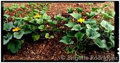 August 8, 2015 - Pumpkin flowers in Mead. (Brigette Rodriguez)