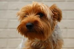 Pixie (cmjart) Tags: dog chien divers yorkshire