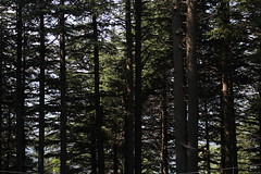 Shogran Love (Omair Anwer) Tags: trees pakistan sky forest woods view jungle northernareas kaghanvalley shogran thick kpk