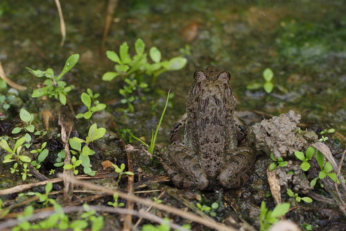 Japanese Wrinkled Frog (Glandirana rugosa)