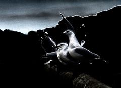 By the light of the silvery moon (PhotosbyDi) Tags: seagulls birds creative pointlonsdale hss bigbertha nikond600 nikonf2870200mmlens sliderssunday