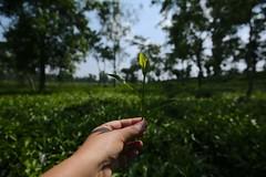The land of two leaves and a bud (Ferdousi.) Tags: light green self leaf iam teagarden sylhet tealeaves srimongal ferdousi twoleavesandabud madhabpur landoftwoleavesandabud