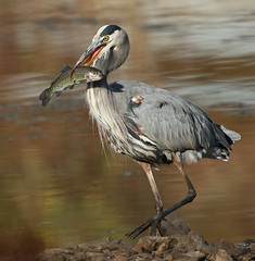 GBH with Rainbow Trout (ken.helal) Tags: 20151020heronwfish