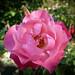 Iga 83 Münschen Rose