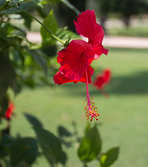 Hibiscus (rolfkallman) Tags: red india hibiscus newdelhi safdarjungstomb