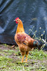 IMG_2015_10_06_3582 (gravalosantonio) Tags: pollo huevo huerta gallina gallinero camperos