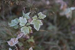 Icy outlines (liisatuulia) Tags: autumn frost blackcurrant porkkala kuura mustaherukka