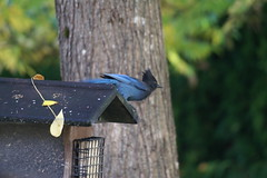 Steller's Jay (Tina Stadeli) Tags: trees bird birds strykerjay