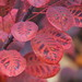 Smoke bush autumn colours