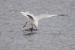 Black-headed gull hunting (David R Owen) Tags: black birds nikon wildlife gull national trust fen f4 headed wetland wicken blackheaded 600mm d810 chroicocephalusridibundus
