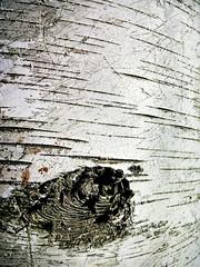 328/365 - Birch Bark (carankin) Tags: blackandwhite white tree closeup stripes knot bark birch rough beaten