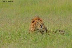JHG_8864-b Lion in the deep grass, Masai Mara, Kenya. (GavinKenya) Tags: africa wild nature animal june john mammal photography gavin photographer kenya african wildlife july grand safari dk naturephotography kenyasafari africansafari 2015 safaris africanwildlife africasafari johngavin wildlifephotography kenyaafrica kenyawildlife dkgrandsafaris africa2015 safari2015 johnhgavin