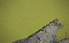 Turtle Pond (time_one) Tags: nyc newyorkcity newyork turtle centralpark turtlepond greenalgae