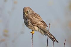 Kestrel At Heartwood (Hugobian) Tags: bird nature birds animal fauna forest woodland wildlife trust kestrel heartwood