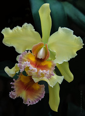 Cattleya (San Francisco Gal) Tags: orchid flower macro fleur hawaii blossom duet bloom cattleya akatsukaorchidgardens