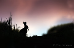 Brown Hare (Lepus europaeus). (Ron Fullelove) Tags: ronfullelove photography brown hare englanduk lepus europaeus britishwildlife mammal silhouette sky farm ears grass eating sitting