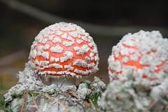 (orbit9000) Tags: pilz mushroom autumn fly agaric fliegenpilz glck glckspilz amanita muscaria juliane myja bokeh natur nature green grn rot red hochweitzschen wald wood wiese herbst funghi fungi park outdoor depth field