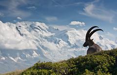 Aiguilles_rouges (jessygirollet) Tags: landscape paysage bouquetin chamonix france aiguilles rouges ibex mont blanc montblanc monte bianco montebianco