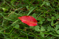 Fall in the Rain (Jacqueline C. Verdun) Tags: red leaf lawn brighton grass rain wet macro verdun nature september 2016 autumn fall