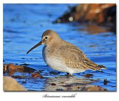 Bcasseau variable / Dunlin 153A8086 (salmo52) Tags: oiseaux birds salmo52 alaincharette bcasseauvariable dunlin stsimondebonaventure calidrisalpina limicoles shorebirds