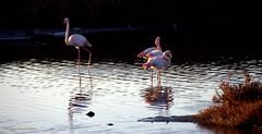 L'enguelade (Dominique Dumont Willette) Tags: flamandsroses oiseauxsauvages camargue paca lessaintesmariesdelamer eau marais mer mditranne