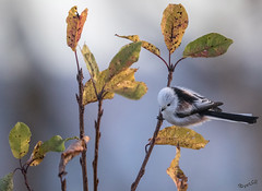 Small and nippy (MatsOnni) Tags: pyrstötiainen aegithaloscaudatus longtailedtit autumn colors