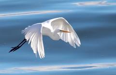 Great egret beauty *EXPLORE (avilacats) Tags: