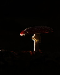 Fly agaric (Mike Mckenzie8) Tags: amanita muscaria british uk wild wildlife fungi toadstool silver birch flash photography leaves forest floor canon macro