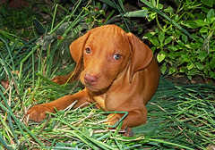 May I introduce to you a new family member (Lutz Koch) Tags: magyarvizsla puppy welpe hund dog kutya ktya furkid fellkind ungarn ungarisch magyar szentpterr tier animal chiot cachorro cucciolo filhote co cane perro chien elkaypics lutzkoch hungarianvizsla