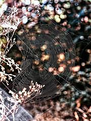 Just Another Cobweb (Silke Klimesch) Tags: spinnennetz cobweb spiderweb spidersweb toiledaraigne ragnatela telaraa teia pajczyna hmhkinseitti edderkoppespind spindelnt  herbst autumn automne autunno otoo outono rmceka sonbahar jesie  syksy efterr hst olympus omd em5 zuikomcautos50mm microfourthirds