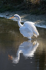 great egret at sunset 10-16-2016-3 (Scott Alan McClurg) Tags: aalba ardea ardeidae flickr algae animal autumn back backyard bluesky fall flap flapping flight fly flying glide gliding glow greategret land landing life nature naturephotography neighborhood pond portrait sky sun sunset wetlands white wild wildlife