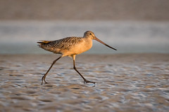 Strut (gseloff) Tags: marbledgodwit bird mudflats wildlife bolivarflatsshorebirdsanctuary houstonaudubonsociety galvestoncounty texas gseloff