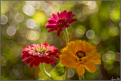 What a Wonderful World (Luciano Silei - sky7) Tags: zinnia lucianosilei canon7d trioplan100mmf28 bokeh bubbles meyergorlitz