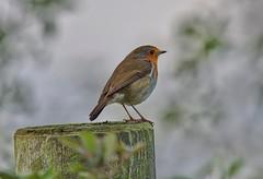 Robin (John Assheton) Tags: robin rspb snettisham norfolk
