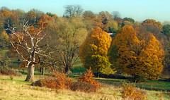 memento mori (dick_pountain) Tags: london hampsteadheath parliamenthill tree deadwood dead grass mementomori