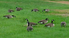 Canadian Geese   --   Studio_20161020_081024 (mshnaya ) Tags: geese goose canadian bird fowl wildfowl waterfowl waterbird nature outdoor fauna migration migrating migrat flight new england massachusetts narragansett bay flickr picture photo photography candid leicac leica point shoot camera landscape seascape