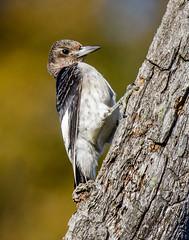 Red-headed Woodpecker (shooter1229) Tags: avian wetlands redheadedwoodpecker nature bird outdoors immature heronpark animal