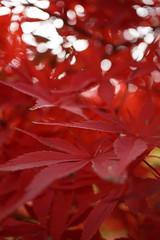 red river of anger (emocjonalna) Tags: maple tree trees plants leaves flora drzewa strom stromy fall autumn podzim jesien botanical garden botanics macro bokeh klon japanese
