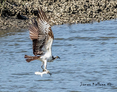 Osprey catching lunch (jkellogg01) Tags: osprey lunch fish fishing talnos claws oops dripping focused breakfast eating smell wingspan wing span hot chick feathered feathers white brown