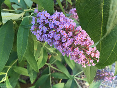 lilas violets (alexandrarougeron) Tags: violet vert nature lilas