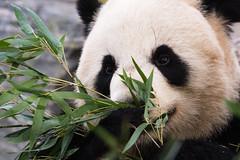 Giant Panda 74 (cypher40k Photography) Tags: bear color colour giantpanda nikon panda toronto torontozoo zoo