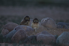 Burrowing Owls (Peter Stahl Photography) Tags: burrowingowl owl evening sunset mendoza mendozaargentina