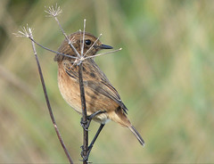 You can't see me (Peanut1371) Tags: stonechat bird chat nationalgeographicwildlife