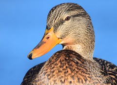 Mallard (careth@2012) Tags: mallard wildlife portrait beak feathers nature duck